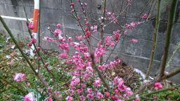 梅の花_256.jpg